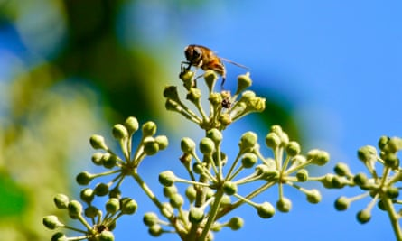 A hoverfly on ivy flowers