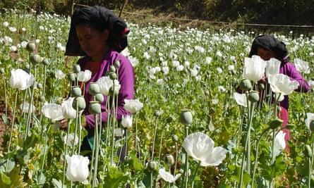 Women cut opium bulbs in a poppy field near Myanmar border.