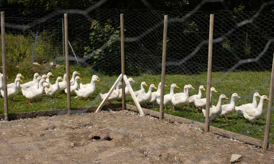 Ducks at Daniel Colbourne and Rachel Stevens' duck farm, close to Fishguard, West Wales.