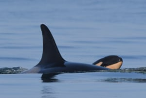 Tahlequah the orca with her calf