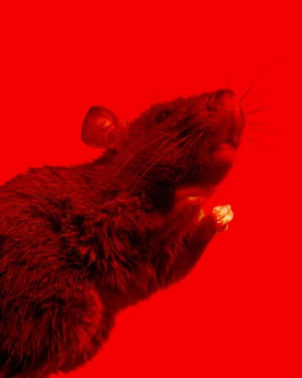 Brown rat (Rattus norvegicus) rearing up. Guardian Design