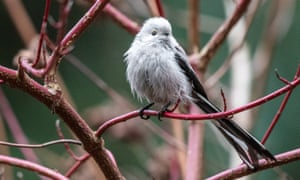 A long-tailed tit in Podkowa Lesna, just outside of Warsaw, Poland on 28 February.