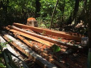 Freshly cut logs in the protected Masoala national park