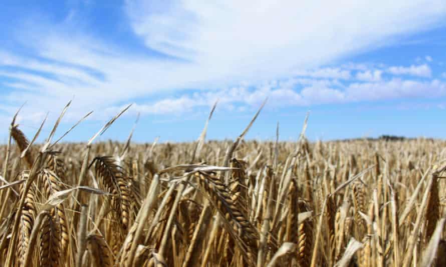 field of barley against blue sky