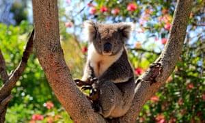 Koala in tree on Kangaroo Island.