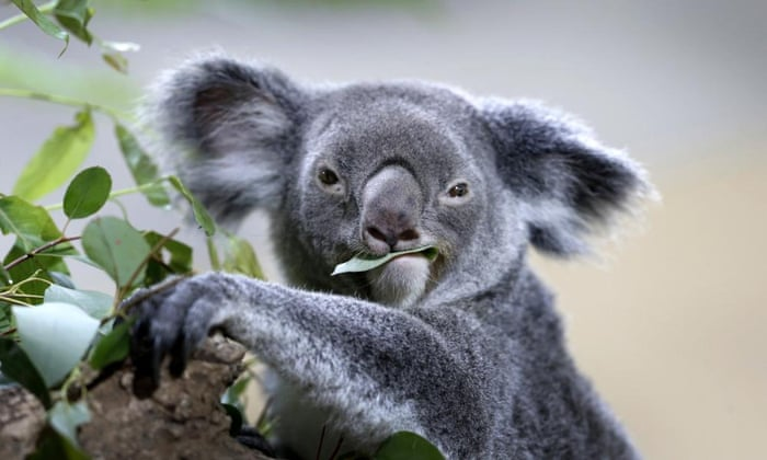 A koala feeds on eucalyptus leaves in its new enclosure at Singapore zoo