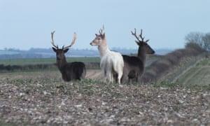 Fallow deer in Dorset