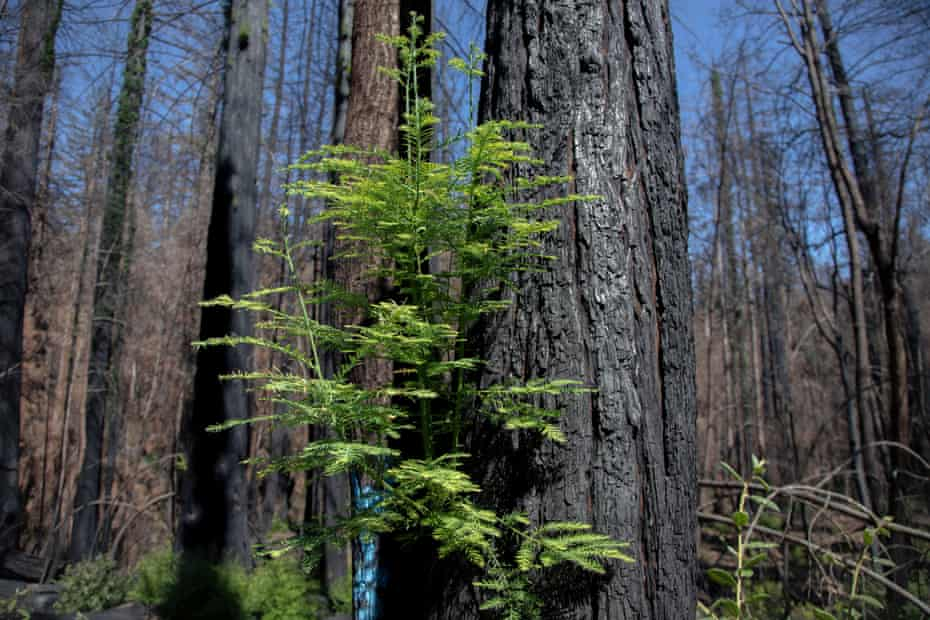 Blackened redwood trees show signs of new growth after the CZU Complex fire burned through 97% of the park.