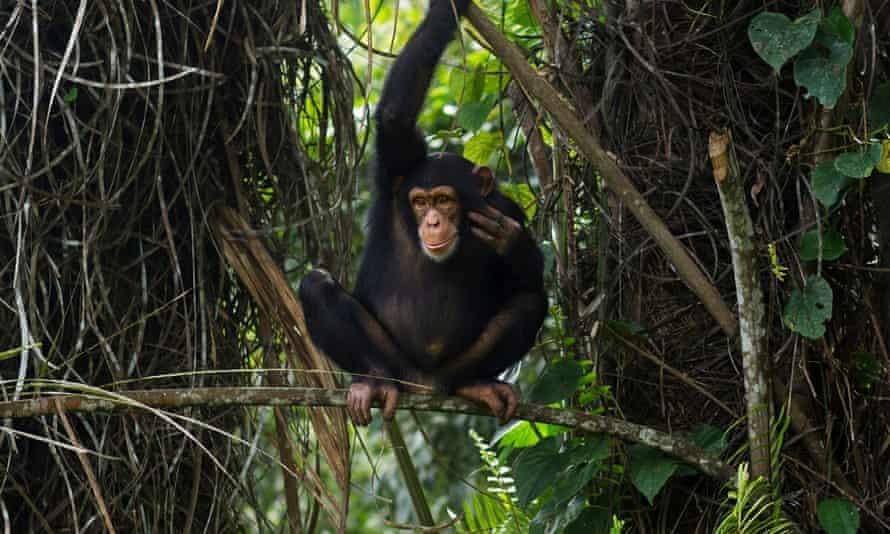 A western chimpanzee in Bossou Forest, Guinea