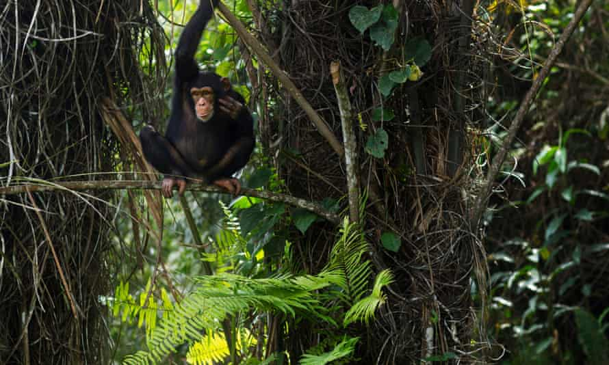 After an 80% decline in the past 20 years, western chimpanzees are considered critically endangered – the highest level of risk – by the International Union for Conservation of Nature.
