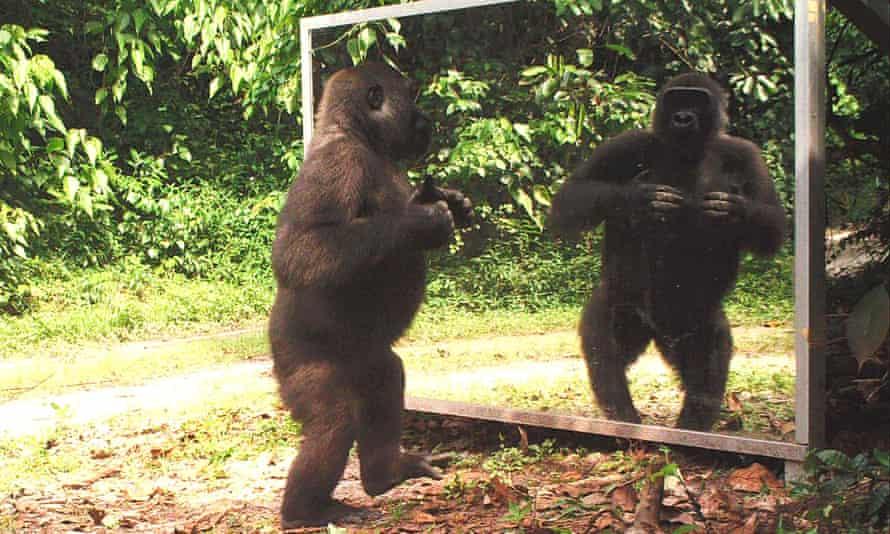 Model behaviour … a silverback gorilla observes its own reflection.