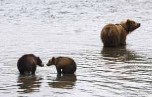 a brown she-bear with cubs in Kurilskoye Lake in Tikhon Shpilenok South Kamchatka Federal Nature Reserve