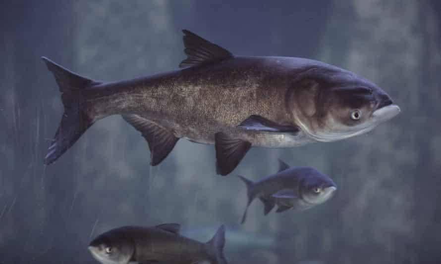 Asian carp can weigh up to 100lbs and often outcompete other fish.