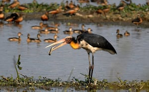 An adjutant stork catches an eel in Pobitora Wildlife Sanctuary in Assam, India.
