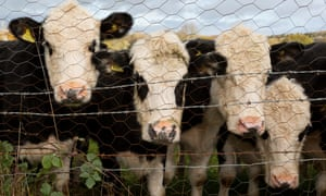 Curious one year-old bulls peer through a wire fence in Wrington, North Somerset.