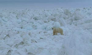A polar outside Barrow in June 2016. Disappearing ice is forcing polar bears on to land where some are interbreeding with grizzly bears.