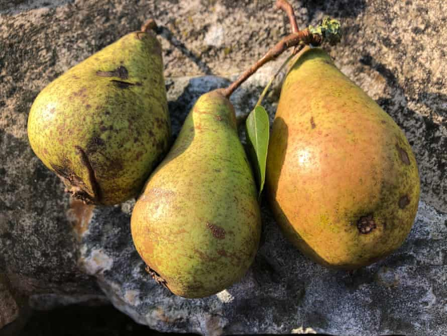 Windfall pears from the mystery landmark tree near Axminster, Devon.