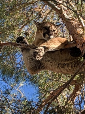 A mountain lion seen perched 50 feet (16m) up in a tree outside a private residence in the Hesperia, California