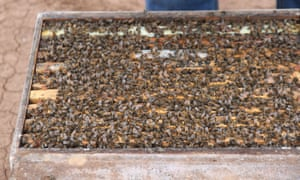 Bees are transferred for transport in the pollination season