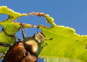 A Japanese beetle eats a plant