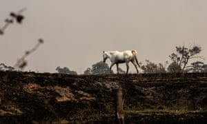 A horse walks through its charred paddock in Hillville, NSW.