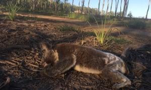 A dead koala on land cleared in Queensland.