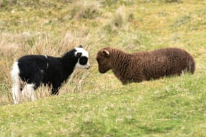 Shetland LambsA couple of lambs playing with each other on the Mainland in the Shetland Isles