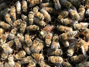 'Photo from a frame of introduced Nuc of Buckfast Bees at the Baytrees Bee Project based in North Manchester. The Queen Bee is marked in the middle of the frame.'