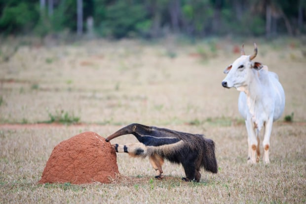 A zebu watches as a giant anteater explores a termite mound. The road has had a big effect on the already declining anteater population. The creatures are most active at night when more than 80% of wildlife-vehicle collisions occur. Photograph: Westend61 GmbH/Alamy