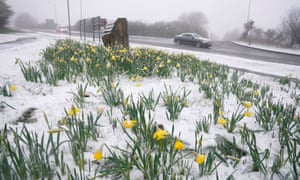 Snow-covered daffodils in County Durham