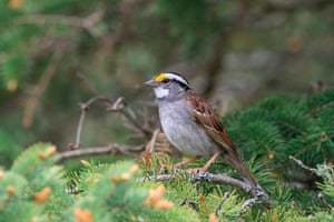 A white-throated sparrow.