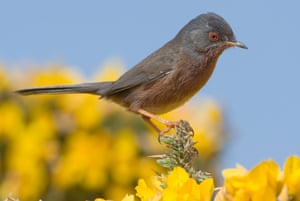 Dartford Warblers are expected to do well in the reserve.