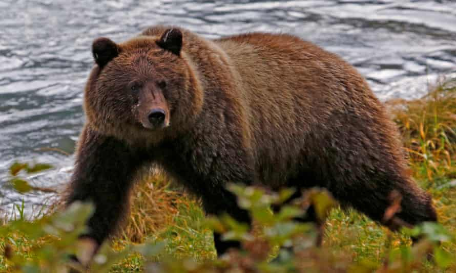 The brown bear Allen Minish saw in a remote area 190 miles north-east of Anchorage was bigger than the 300lb black bears he had seen before.
