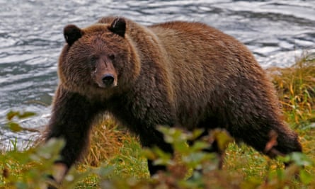 A coastal brown bear at the Chilkoot river near Haines, Alaska. The National Parks Conservation Association said: 'This activity is cruel and has no place on America's national park lands.'
