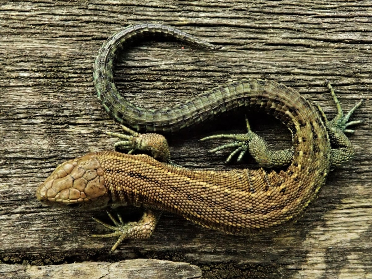 Country diary: appreciating the minutiae of a lizard's life ...