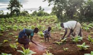 Tiyamike Phiri, 14, at work on a tobacco plot belonging to her brother's family