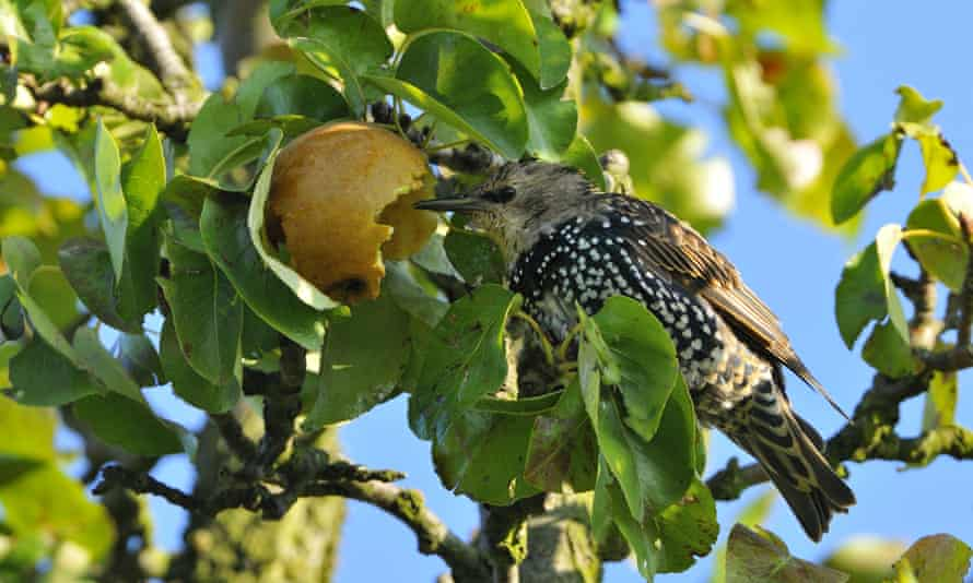 Common starling making a feast of a pear tree.