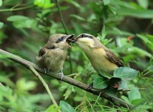 Gangneung, South Korea: A brown shrike feeds her chick