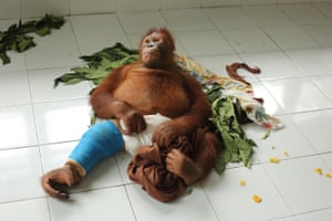 Beni convalesces after breaking his thigh bone