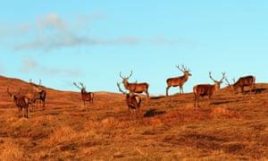 Red deer roaming wild on the hillside near Glas Bheinn, Kilchoan, Ardnamurchan , Highland Region, Scotland