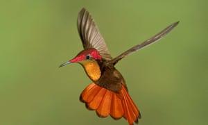 Ruby topaz hummingbird in Tobago.