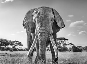 Ulysses, one of the last remaining great tuskers, Kenya: gold prize in black-and-white