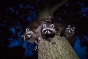 Raccoons, North Hesse