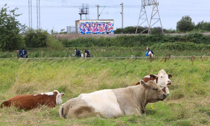 Cattle grazing on Hackney Marshes.