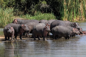 A bloat of hippos bask in the sun at the Nanglomoni dam, inside Nairobi national park, Kenya.