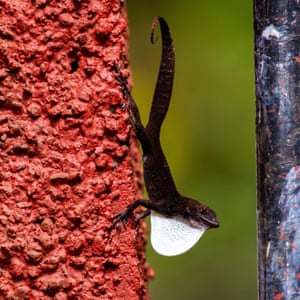 A Cuban white-fanned anole, Anolis homolechis, spreading its white dewlap
