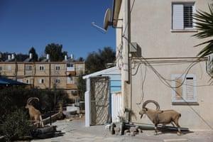 Nubian ibex roam near some properties