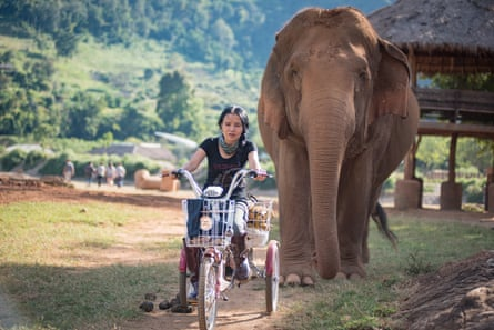 Elephant in Thailand, Chiang Mai