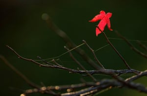 a single red leaf on an otherwise bare tree