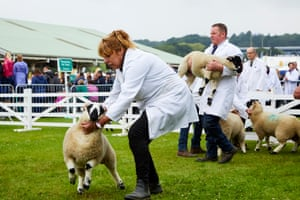 Handlers wrestle with sheep before judging at the Great Yorkshire show